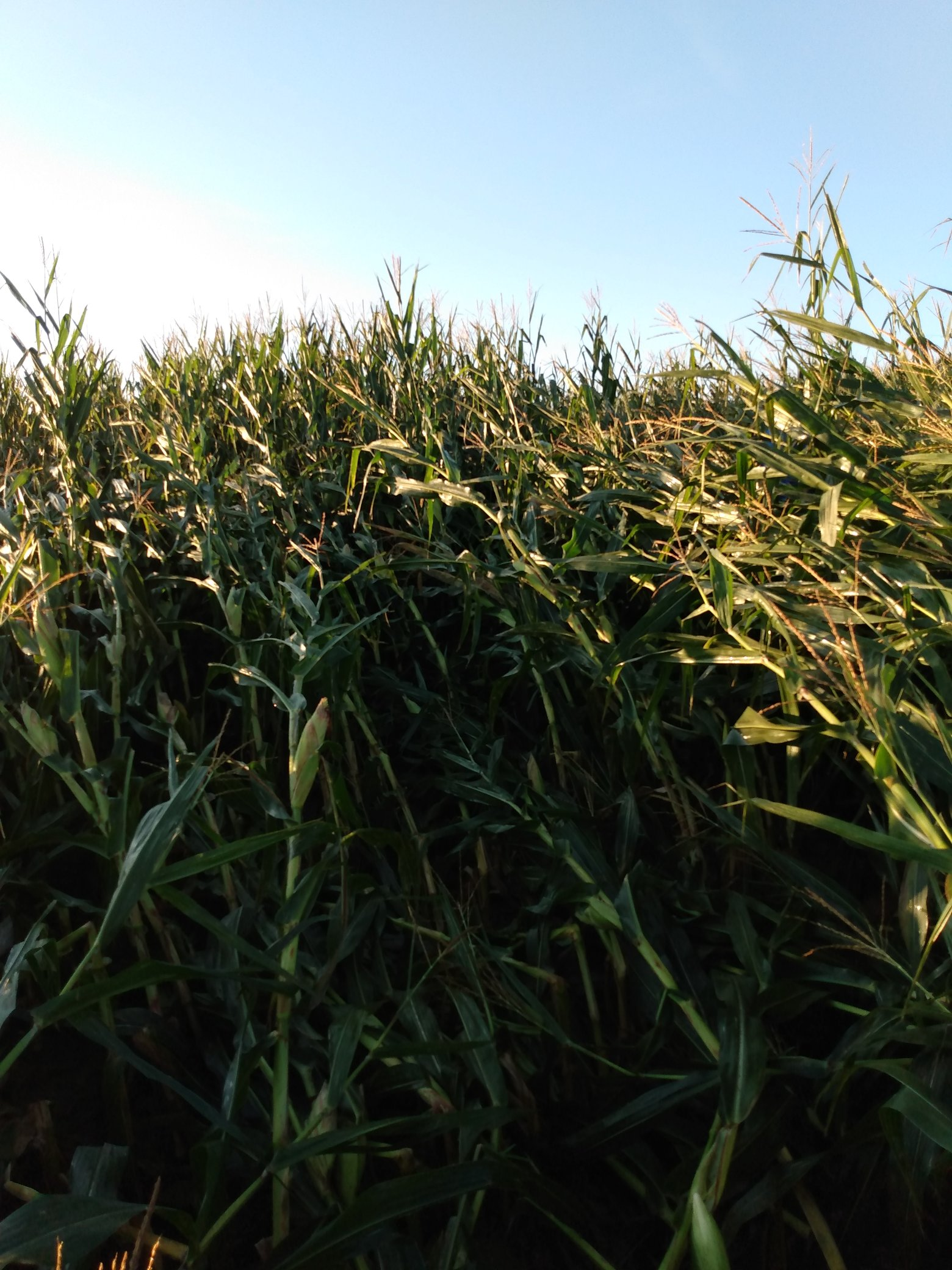 Milho Iowa - Pro Farmer 2020 - Foto: Joel Shoup