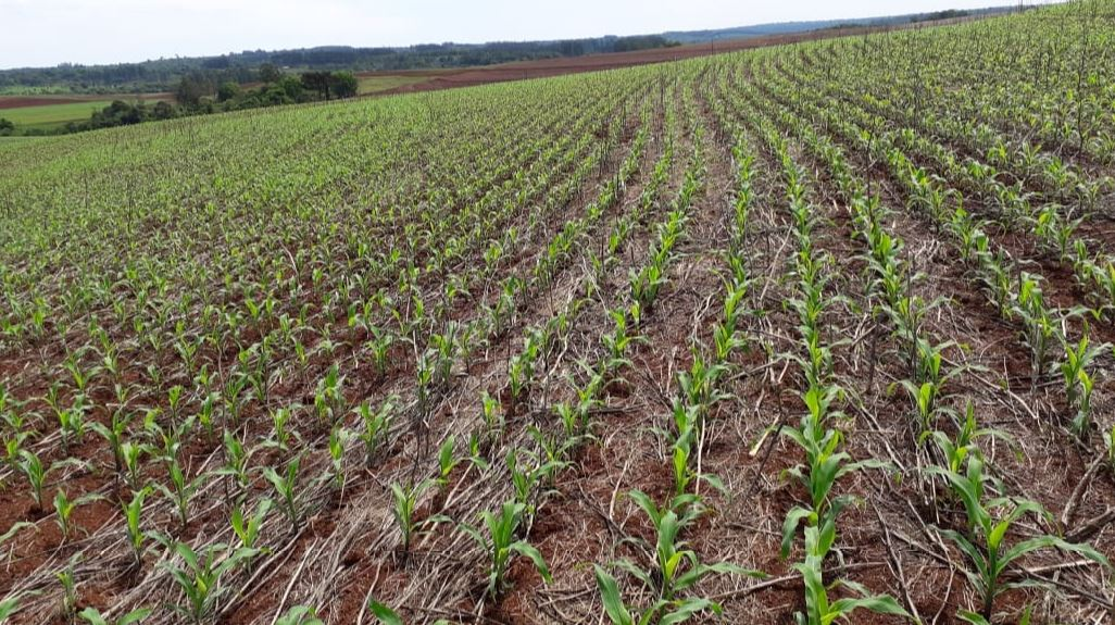 Milho em desenvolvimento vegetativo em Capanema (PR). Envio da Família Trevisan