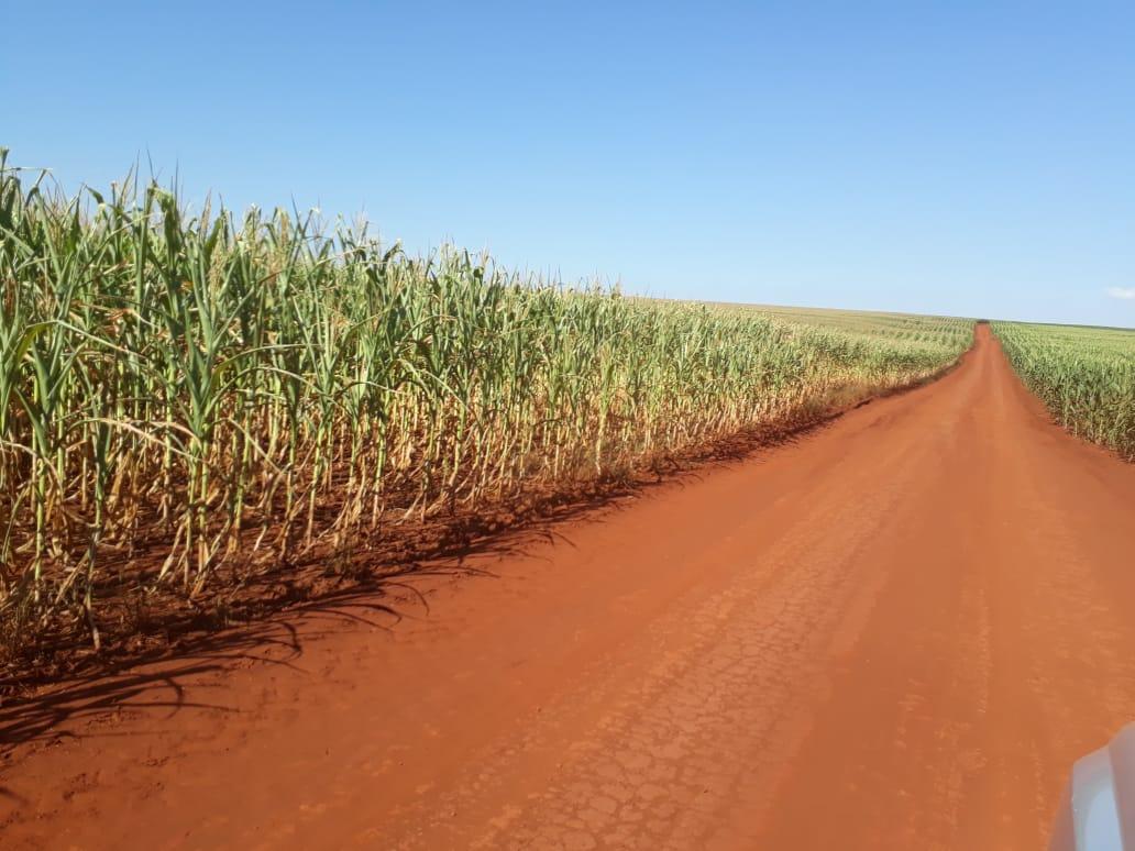Milho safrinha sofrendo com a seca em Brasilândia do Sul (PR)