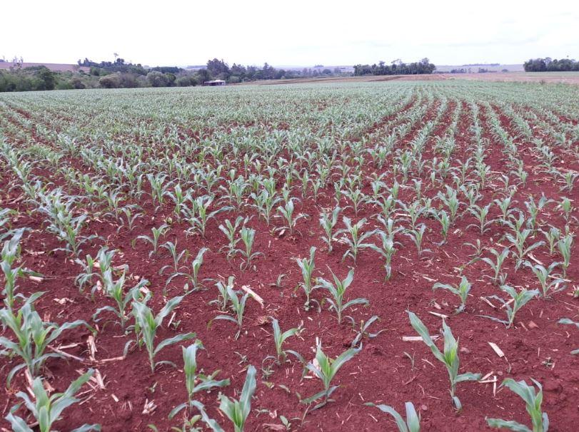 Fase de desenvolvimento milho safra 18/19 em Entre Rios do Oeste (PR). Envio Família Anderle.