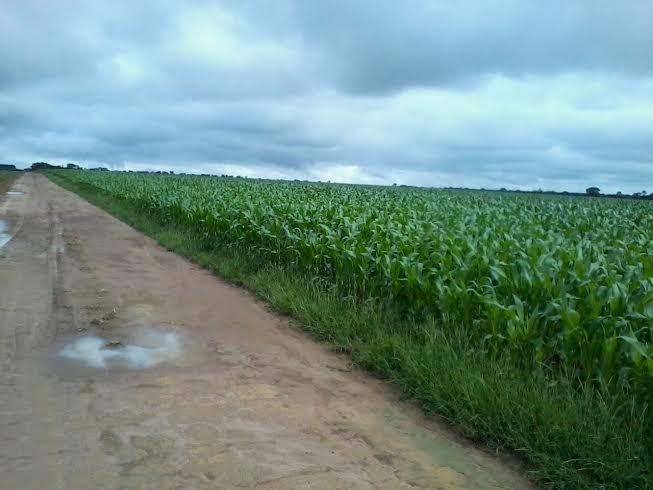 Imagem do dia - Lavoura de milho safrinha em Unaí (MG). Envio do engenheiro agrônomo Danilo