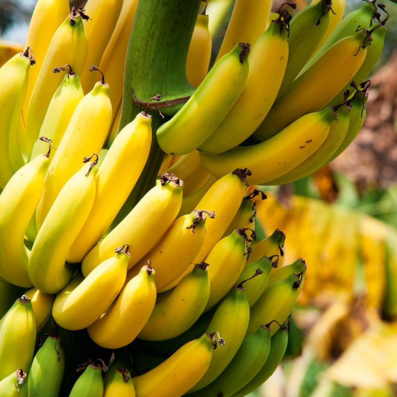 Banana: Norte de Minas mantém cotações da prata - Notícias Agrícolas