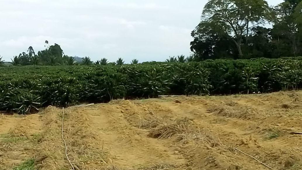 Lavoura irrigação automatizada e adubação balanceada em São Gabriel da Palha (ES). Envio de Eriveuton Mauri