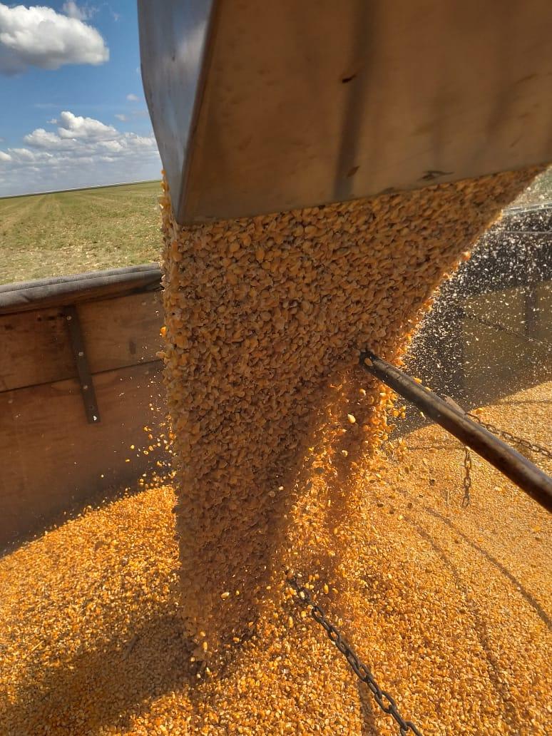 Milho no Cerrado da Bahia. Envio de Mauro Adriano