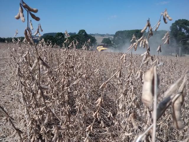Imagem do dia - Fotos das lavouras de soja na região de Quatro Irmãos (RS), norte do estado. Envio de Douglas Fernando Sartor