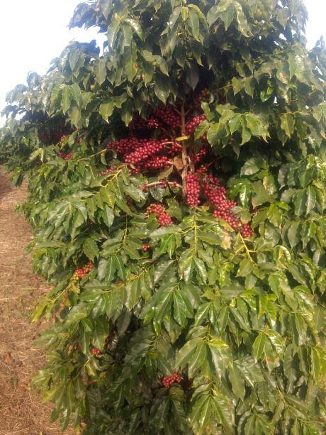 Florada de café deu os primeiros sinais. Podemos ter colheita em maio e com poucos frutos em São Pedro da União (MG). Envio de Neivaldo Amaral