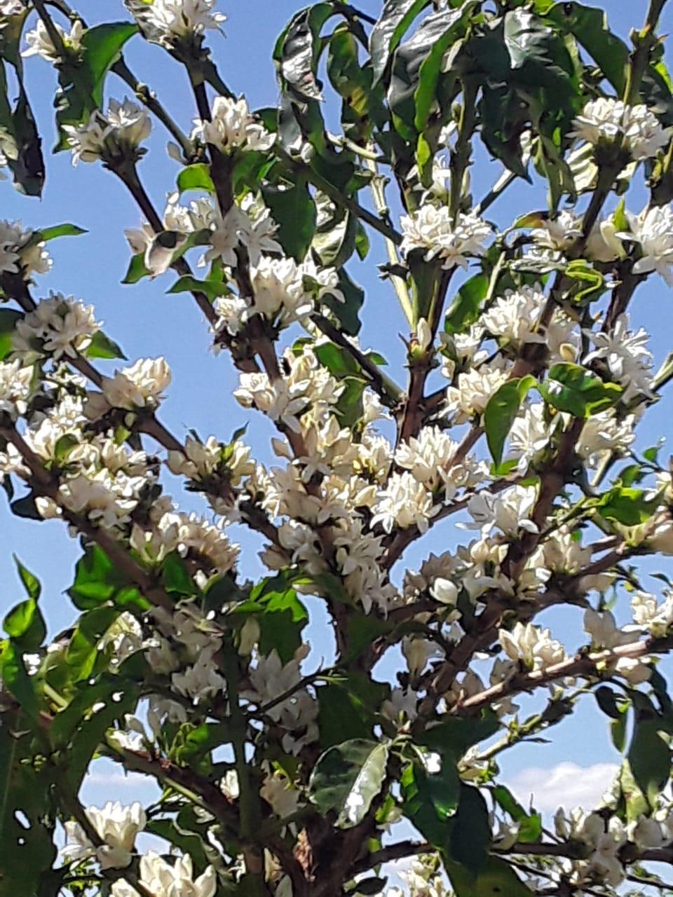 Florada tempo seco no sul de Minas - Geovane Ferreira da Silva