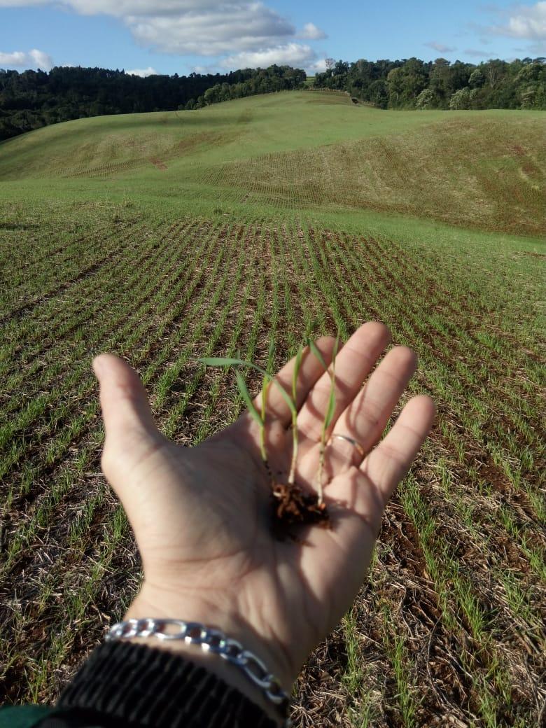 Desenvolvimento inicial da cultura do trigo Tbio Toruk em Pérola d'Oeste (PR). Envio do Técnico Agrícola Lucinei Cagol