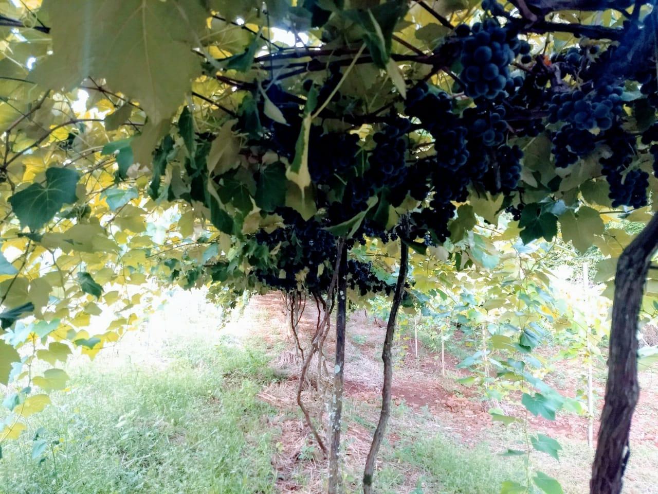 Colheita da uva na Propriedade de Marcos Tolotti em Barra Funda(RS). Envio de Lucas Tolotti