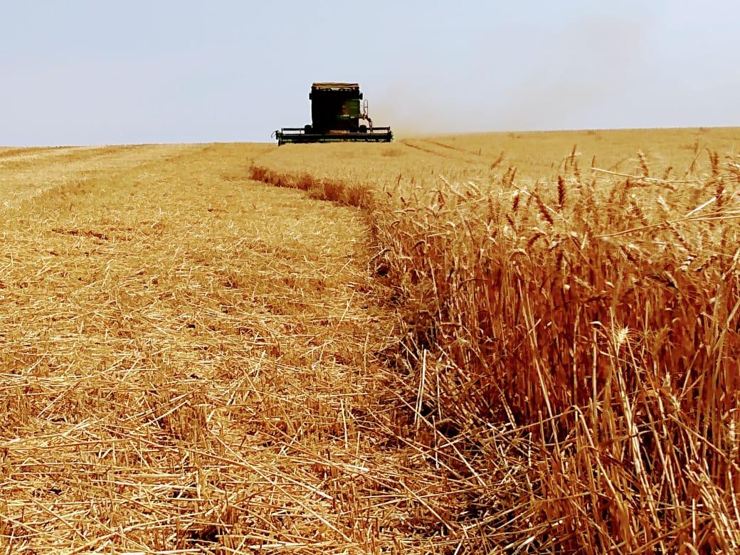 Colheita de trigo em Espigão Alto do Iguaçu (PR). Propriedade Família Marcon. Envio do Consultor Wilson De Itoz