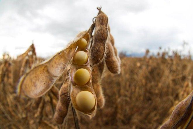 Soja perde mais de 1% em Chicago após final de semana de boas chuvas no Corn Belt e previsões favoráveis – Notícias Agrícolas