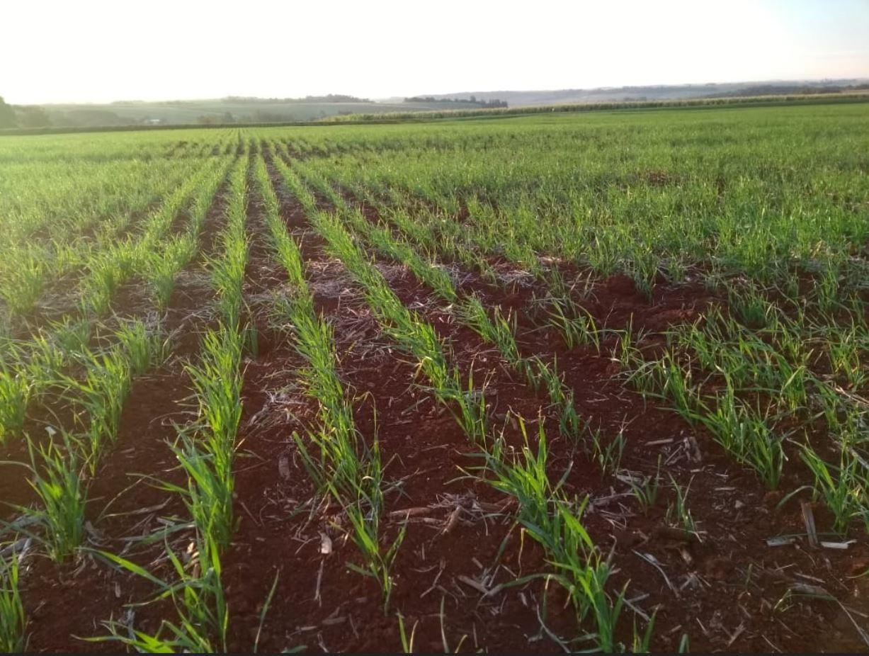 Área de trigo em Toledo (PR)