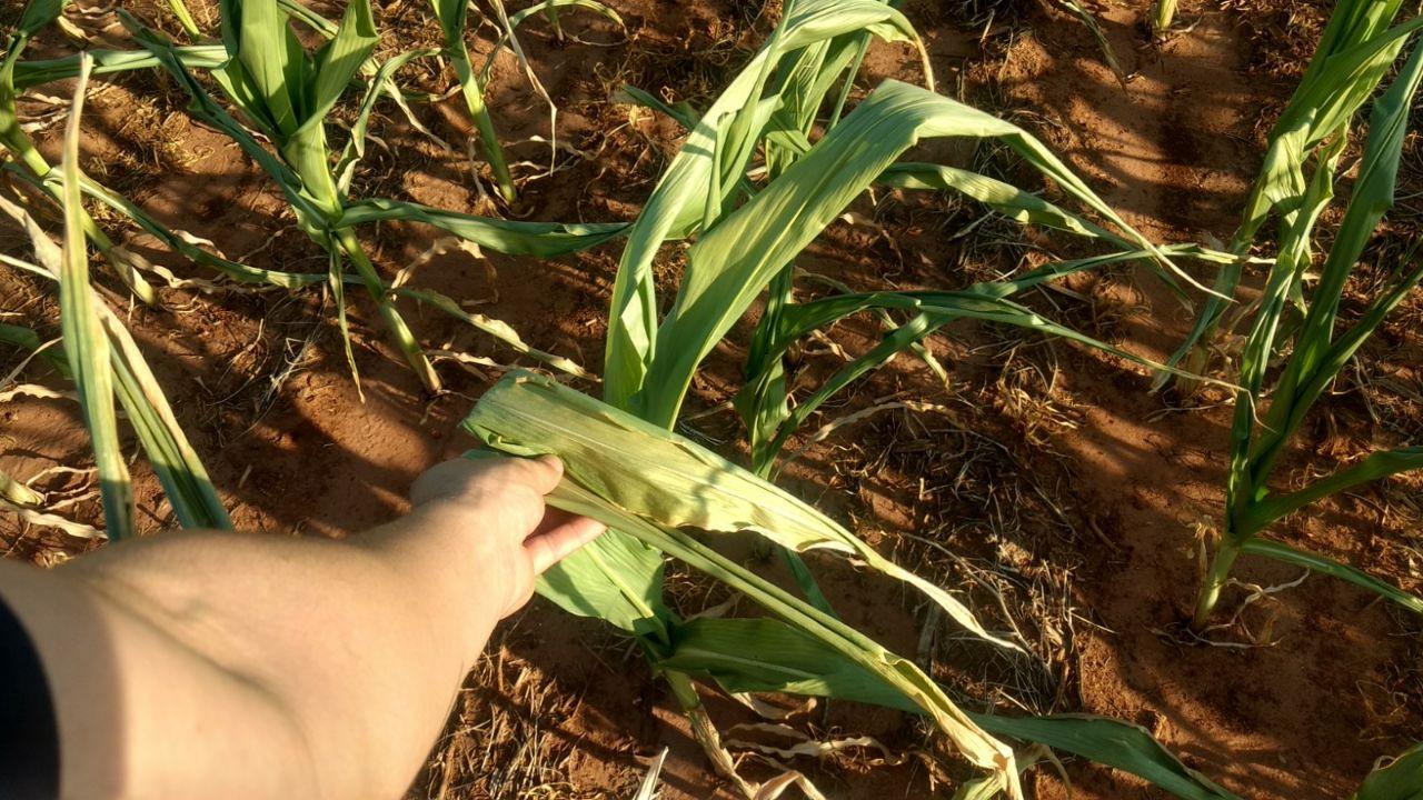 Área com perdas de milho na região de Iguaraçu (PR). Envio de Gustavo Munhoz