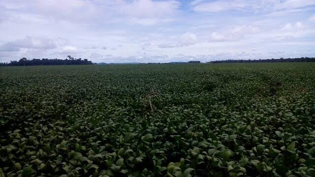 Imagem do dia - Lavouras de soja em Cerejeiras (RO). Envio de Mário Milani