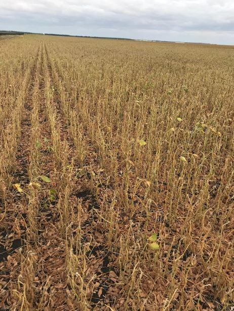 Lavoura de soja castigada pela seca no Canadá. Envio de Júlio Takahashi