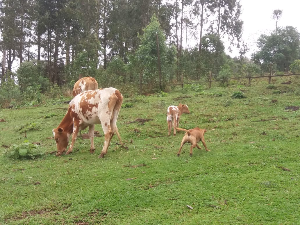 Gado na Fazenda em Itaiópolis (SC). Envio de Paulo Marcelo Adamek