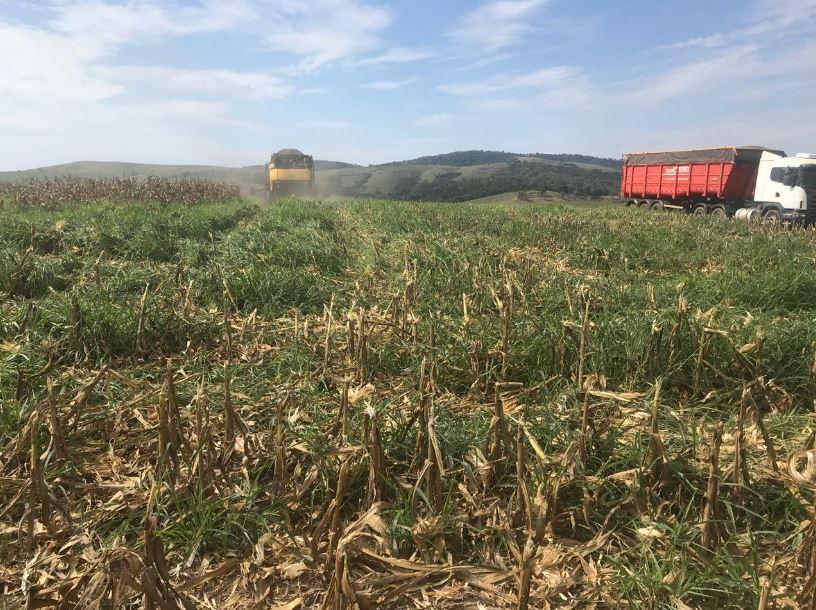 Colheita milho safrinha (consorciado com rusisienses) na Fazenda Renascença em Conceição da Aparecida (MG).