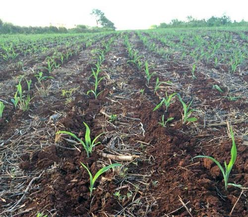 Lavoura de milho na região de Ourinhos (SP). Foto enviada pelo produtor rural, Rafael Criveli.