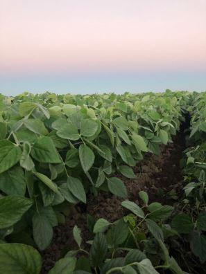 Nascer do sol na lavoura de soja na Fazenda Trindade em Tocantins. Envio do produtor Volmir Antonov
