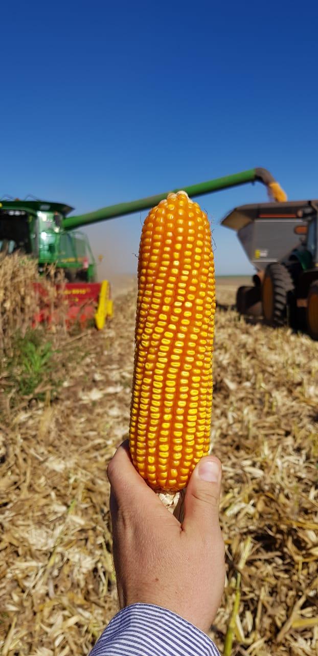 Colheita de milho em Naranjal - Paraguay. Envio de Cledison Conte.
