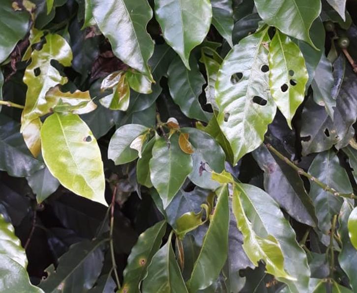 Lagartas em Folhas, cafe