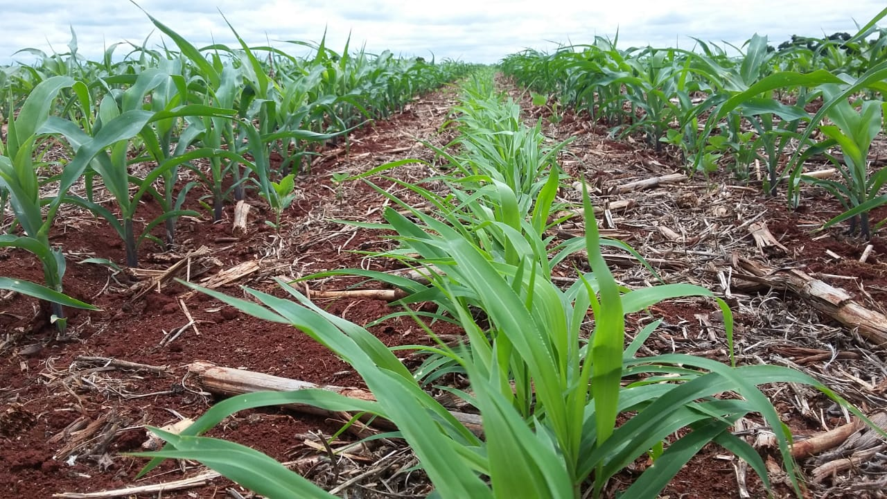 Plantio em consórcio de milho e Brachiaria Ruziziensis em Nova Aurora (PR). Envio do Técnico Agrícola David Clemente