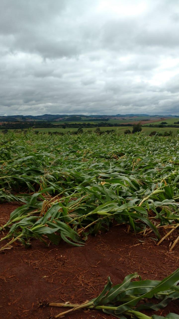 Ventos fortes destroem lavouras de milho em São João do Ivaí (PR)