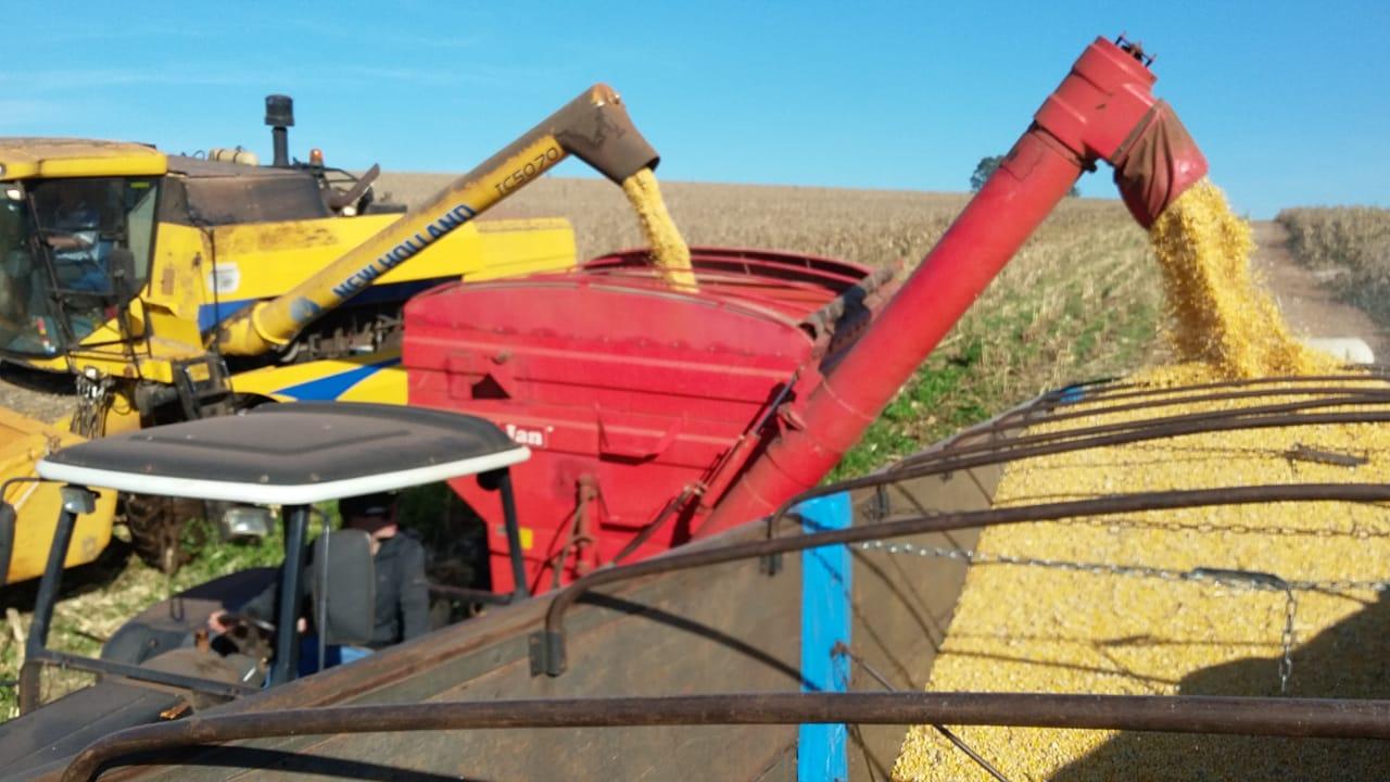 Colheita de milho safrinha em Nova Aurora (PR). Envio do Técnico Agrícola David Clemente