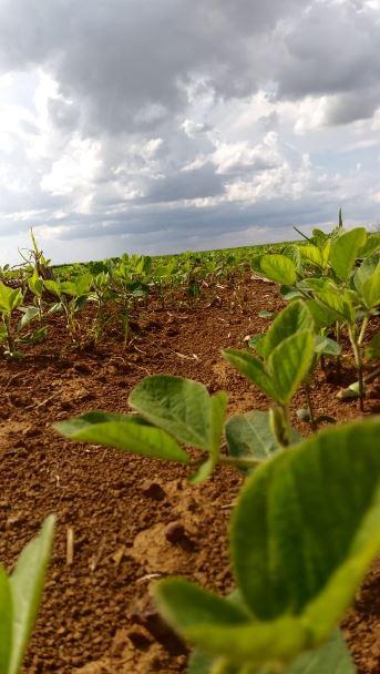 Soja M6410 IPRO município Uberaba (MG). Envio do Técnico Agrícola Thiago Costa Inácio