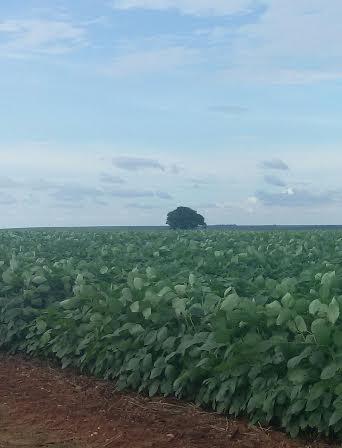 Imagem do dia - Lavoura de soja em Tupirama (TO), na Fazenda Mirindiba, da Família Sgorla