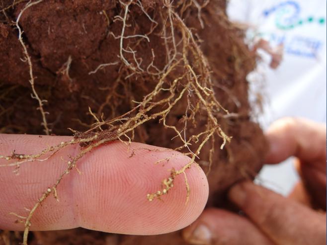 Nematoides na agricultura - Imagens: Jaime Maia