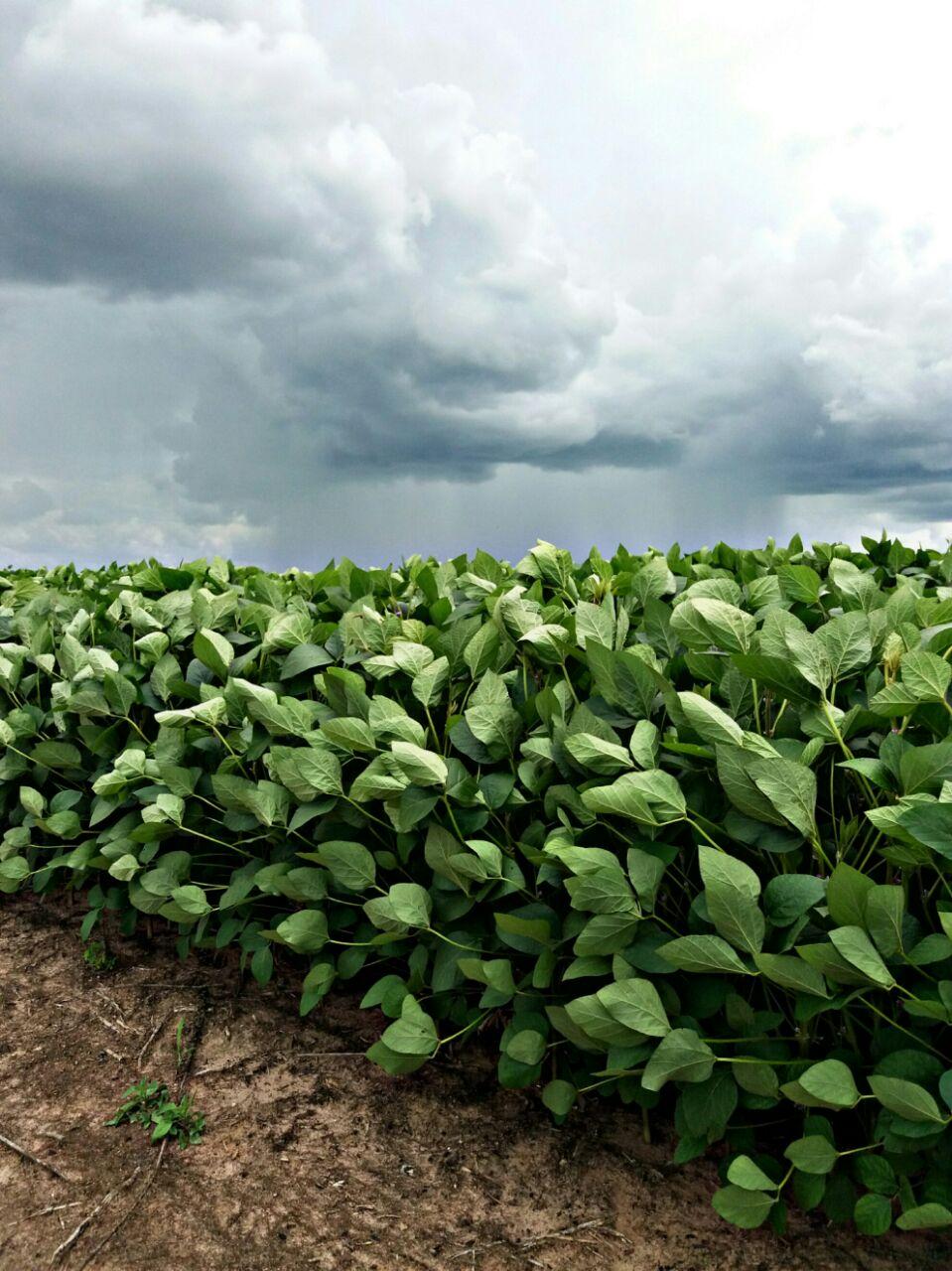 La Ninã colaborando para uma ótima safra de soja em São Desidério (BA). Envio do Eng. Agrônomo Thiago Palma