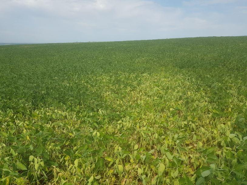 Quebra de produção na região Norte do Paraguai pela falta de chuva. Envio de Edimar Argenton Agricultor e técnico da Central Nacional de Cooperativas do Paraguai