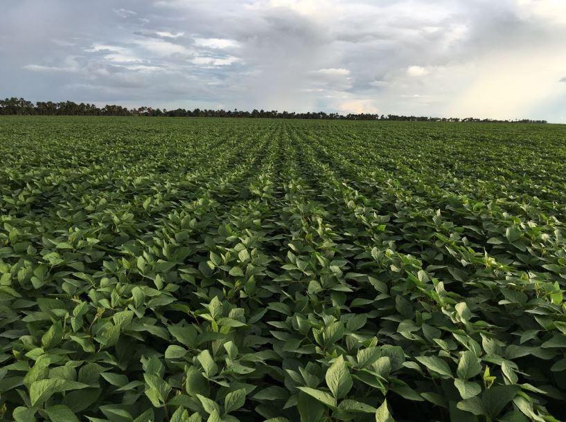 Lavoura de soja em Roraima. Envio do produtor rural Geison Nicaretta