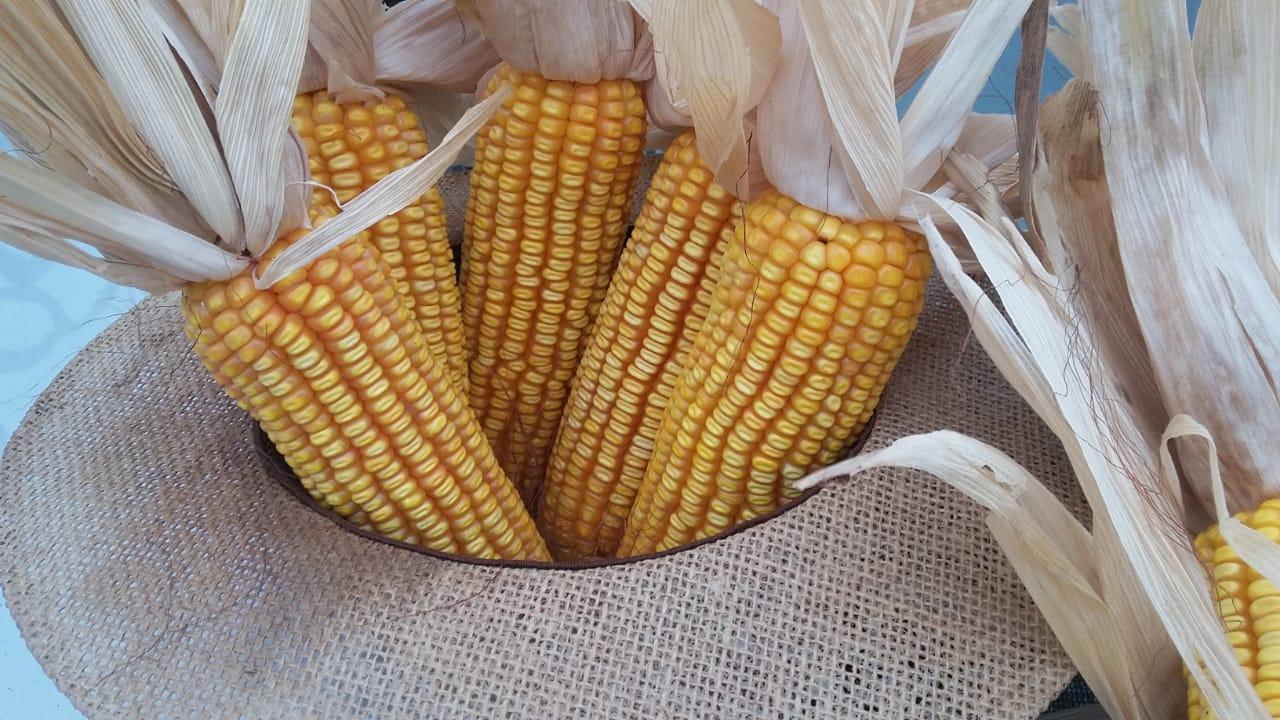 Áreas de milho Safrinha no Município de Nova Aurora (PR). Envio do Técnico Agrícola David Clemente.