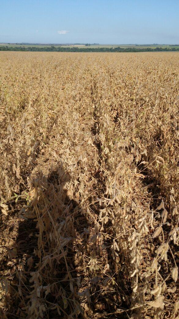Imagens do dia - Colheita da safrinha de soja em San Alberto, no Paraguai. Envio de Ronaldo Alves