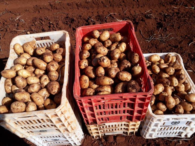 Colheita batata, grupo Igarashi Papanduva, fazenda de Lagoa Vermelha. Envio de Antônio Barabach