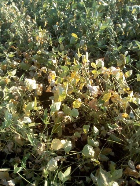 Soja danificada em Terra Roxa (PR). Envio de Vinícius Zaura