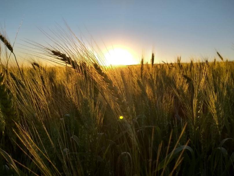 Pôr do sol na lavoura de trigo em Quatro Pontes (PR). Envio de Fábio Roweder