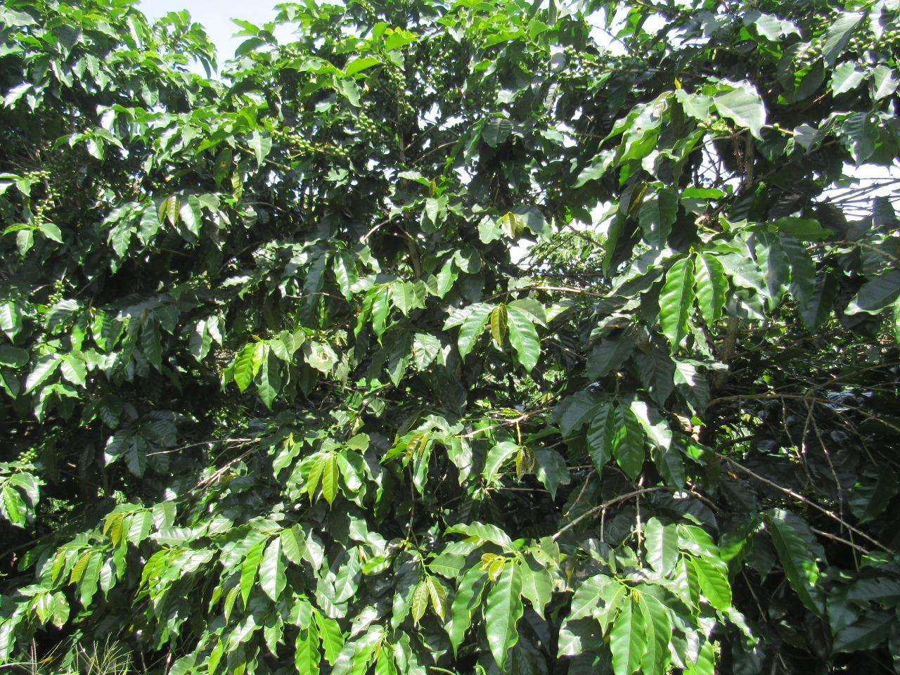 Produção de café em Minas Gerais - Envio de Guy Carvalho