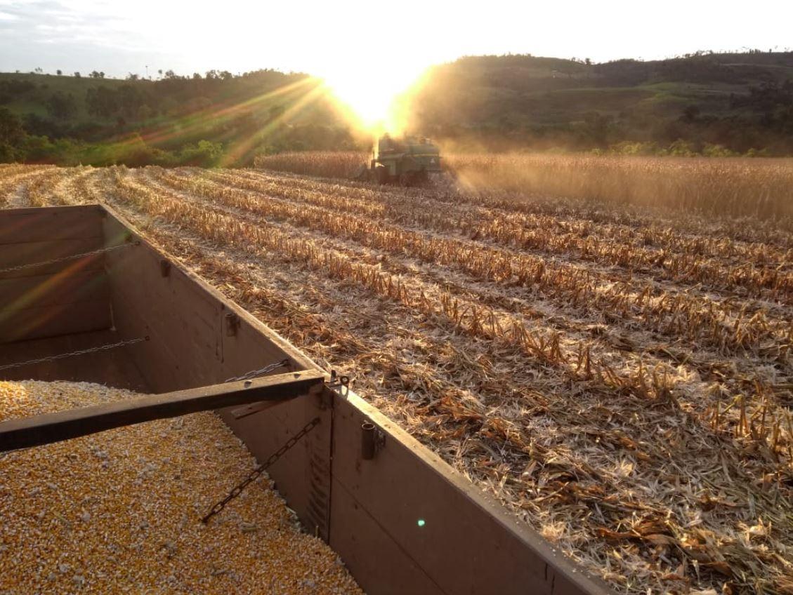 Colheita de milho safrinha em Sulina (PR). Envio de Cristiano Willenborg.