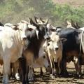 Boi Gordo destaque   Foto: Secretária da Agricultura de SP