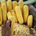 Milho Destaque - Reuters
