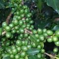 Produção de café em Lambari/MG - Envio de Janaína Magalhães