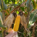 Milho chegando ao ponto de colheita em Rio Verde (GO). Envio de Vanderlei Secco
