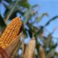 milho espiga destaque reuters (1)