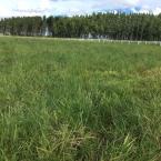 Nova praga de pastagem é registrada em território nacional | Fonte: Fabrícia Zimermann - Agrônoma