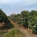 Florada área da Minasul 21092021 (3)