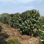 Florada área da Minasul 21092021 (5)