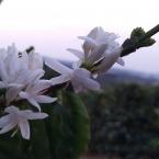 Florada do Café - Sao Pedro da Uniao MG - Fernando Barbosa (2)